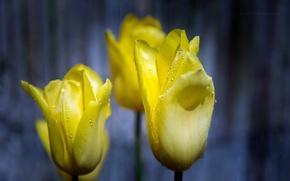 Картинка капли, макро, роса, лепестки, тюльпаны