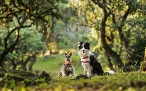 Картинка собаки, парочка, боке, бордер-колли, карликовый шнауцер, цвергшнауцер