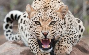 Обои леопард, пасть, морда, зубки