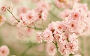 Картинка ветки, вишня, сакура, цветение, цветки, боке