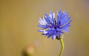 Картинка цветок, макро, синий, полевой, Василек