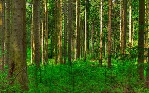 Картинка лес, деревья, ствол, кусты, сосна