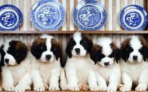 Обои сенбернар, тарелки, Ряд, посуда, полка, щенки
