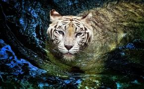Картинка белый, тигр, tiger, большая кошка, плывет, альбинос