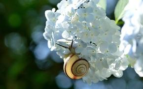 Картинка цветок, макро, улитка, гортензия