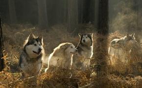Обои стая, волки, лес
