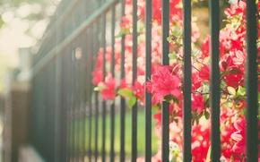 Картинка цветы, забор, ограда, лепестки, красные