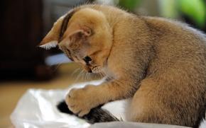 Обои крупный план, котенок, внимание, играет