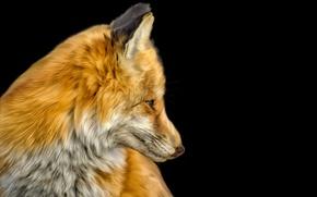 Картинка голова, шерсть, лиса, лисица