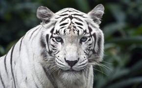 Картинка белый, взгляд, тигр