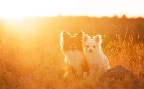 Картинка поле, собаки, свет