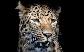 Обои усы, морда, крупный план, хищник, размытие, леопард, клыки, черный фон, пятнистый
