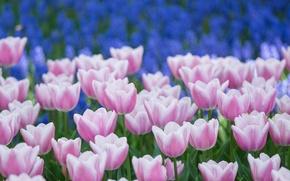 Обои тюльпаны, бело-розовые, синие