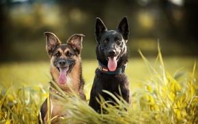 Картинка собаки, трава, языки, дуэт, овчарки