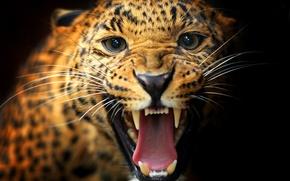 Картинка кошка, усы, взгляд, животное, пасть, леопард, клыки, окрас, черный фон