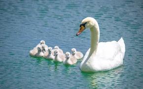 Картинка вода, птицы, лебедь, лебеди, птенцы, семейка