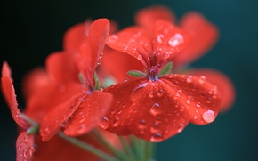 Картинка цветок, вода, капли, макро, красный, герань, пеларгония