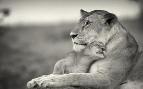 Обои ласка, кошки, любовь, львица, львёнок