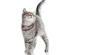 Картинка кот, взгляд, животное, хвост, белый фон, окрас