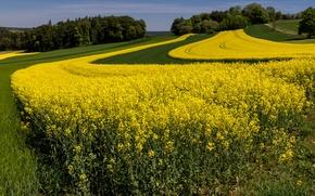 Картинка поле, лето, трава, деревья, желтый, рапс