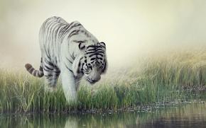 Картинка белый, трава, вода, тигр, фон, размытие, полосатый, водопой, White Tiger