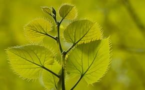 Обои листья, растение, ветка