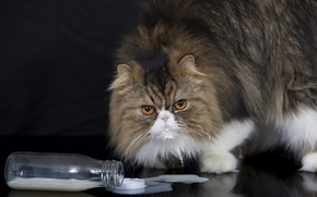 Картинка кот, взгляд, бутылка, пушистый, молоко, персидская кошка