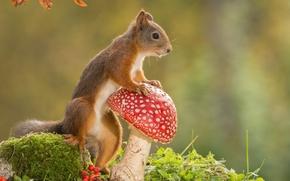 Обои природа, животное, гриб, мухомор, белка, грызун
