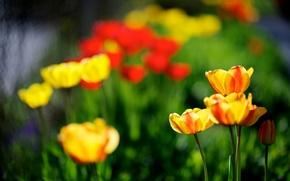 Картинка природа, красные, тюльпаны, весна, желтые