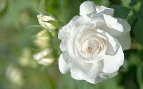 Картинка белый, роза, бутон
