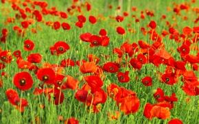 Картинка зелень, поле, трава, цветы, природа, поляна, маки, лепестки, красные, бутоны