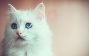Картинка глаза, взгляд, голубой, котейка