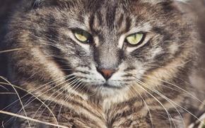 Картинка усы, взгляд, морда, лесная кошка, Лесной кот