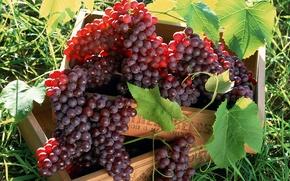 Обои красный, гроздья, виноград, в ящике, листья