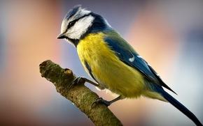 Обои ветка, птичка, синичка
