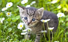 Обои цветы, взгляд, ромашки, мордочка, малыш, котёнок