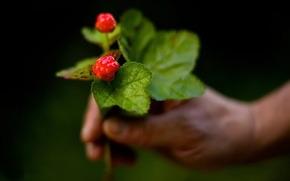 Картинка макро, ягода, морошка, боке, Cloudberries