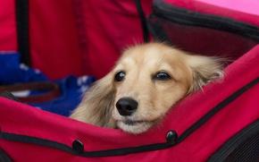 Обои взгляд, друг, собака, сумка