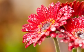 Картинка цветок, капли, красный, нектар, windows, beta, wcp, 8220