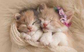 Картинка животные, цветы, сон, шарф, пара, котята, мех, венок