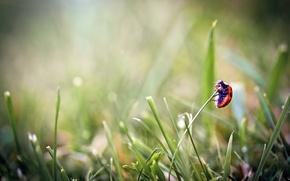 Картинка трава, макро, божья коровка, жук