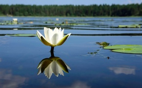 Картинка лес, цветок, река, лилия, лепестки