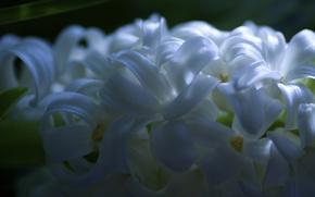 Картинка цветы, весна, лепестки, цветение, гиацинты