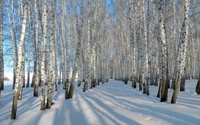 Обои зима, снег, берёзы