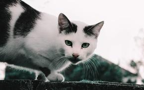 Картинка животные, глаза, кот, взгляд, кошки