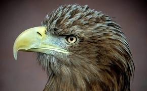 Обои белоклювый орел, хищник, профиль, птица