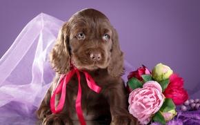 Обои цветы, щенок, бантик, спаниель