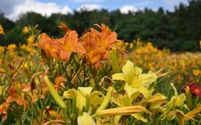 Картинка лето, цветы, лилии, желтый цвет