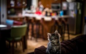 Картинка маленький, котёнок, майн-кун