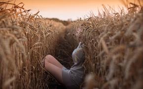 Картинка поле, девушка, укрытие, колосья